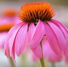 articlepagemain_ehow_images_a07_k5_hd_germinationpurpleconeflower800x800.jpg