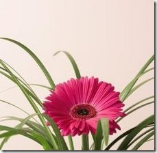 article-page-main_ehow_images_a07_kc_4e_gerber-daisy-plants-800x800