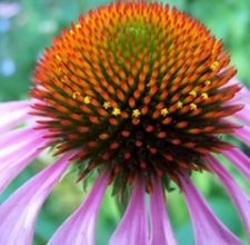 articlepagemain_ehow_images_a07_lg_6m_coneflower800x800.jpg