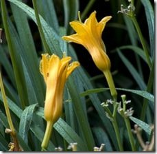 article-page-main_ehow_images_a07_lj_ue_daylilies-winter-800x800