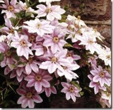 article-page-main_ehow_images_a07_m6_au_replant-clematis-800x800