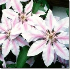 article-page-main_ehow_images_a07_mt_b6_clematis-bloom-800x800