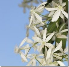 article-page-main_ehow_images_a07_n2_os_clematis-flowers-late-autumn-800x800