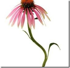 article-page-main_ehow_images_a07_ns_ep_water-coneflowers-echinacea-800x800