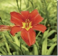 article-page-main_ehow_images_a07_t8_l0_much-sun-do-daylilies-require-800x800