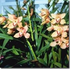 article-page-main_ehow_images_a07_ua_dm_prune-cymbidium-orchids-800x800
