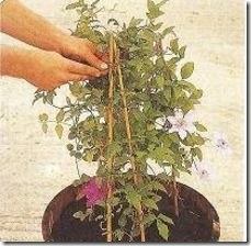 article-page-main_ehow-uk_images_a04_bu_h8_plant-clematis-barrel-800x800