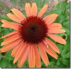 article-page-main_ehow-uk_images_a04_td_am_purchase-coneflowers-800x800
