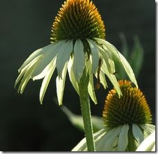 article-page-main_ehow-uk_images_a05_j3_tv_hybrid-coneflower-care-800x800