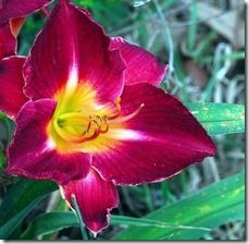 article-page-main_ehow-uk_images_a07_k8_3t_should-cut-back-daylilies-800x800