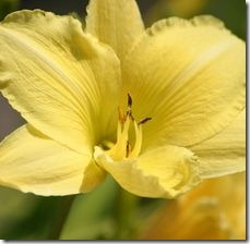 article-page-main_ehow-uk_images_a07_kl_rh_daylilies-zone-4-800x800