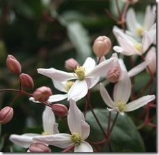 article-page-main_ehow-uk_images_a07_lc_jv_clematis-small-white-flowers-800x800