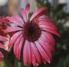 How to Divide a Purple Coneflower