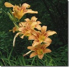 article-page-main_ehow-uk_images_a07_ng_hs_can-daylilies-grow-shade-800x800