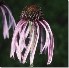 article-page-main_ehow-uk_images_a07_qd_f0_can-directsow-purple-coneflowers-800x800