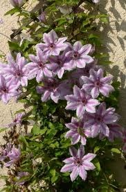 How to Grow Nelly Moser Clematis