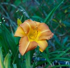 How To Divide Daylilies & Irises