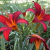 How to Fertilize Daylilies for Re-bloom