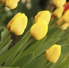 articlepagemain_ehow_images_a07_27_6a_yellowtulips800x800.jpg