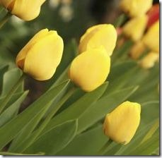article-page-main_ehow_images_a07_27_6a_yellow-tulips-800x800