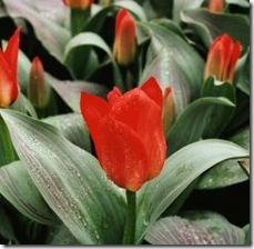 article-page-main_ehow_images_a07_7c_t4_maintain-tulips-800x800