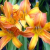 What Are the Causes of Daylilies Failing to Flower?