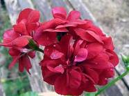 How to Overwinter Ivy Geraniums