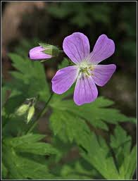 How to Identify Wild Geraniums