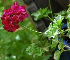 The Cultivation of Geraniums