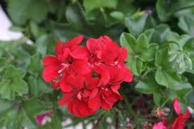 How to Pinch Geraniums