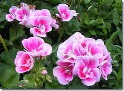 Will geraniums take root in water - Different types pelargoniums ...