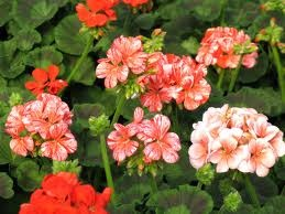 How Moist Do Geraniums Like to Be?