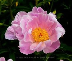 How to Dig Up and Divide a Peony