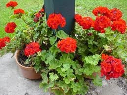 How to Cut Spent Blooms on Geraniums