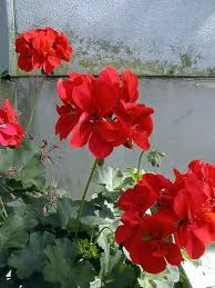 How to Preserve Geraniums Through the Winter
