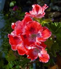 How to Prune Container Geraniums