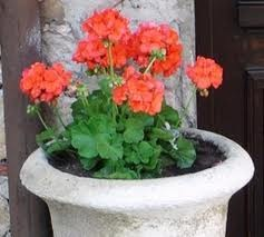 How to Snap Off Dead Leaves From Geraniums