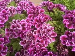 Propagation of Martha Washington Geraniums