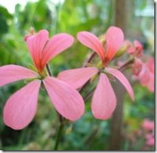 article-page-main_ehow_images_a07_iv_82_propagation-ivy-geraniums-800x800