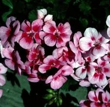 articlepagemain_ehow_images_a07_oh_cq_cultivategeraniums800x800.jpg