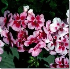 article-page-main_ehow_images_a07_oh_cq_cultivate-geraniums-800x800