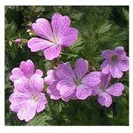 Can You Root a Geranium From a Cutting in Water?