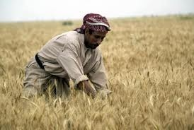 Iraqi Wheat Production At 1.8m Tons
