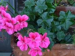 Should I Bring My Geraniums in Over the Winter?