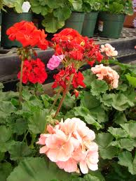 common geraniums - Common Garden Flowers