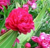How Long Do Peonies Bloom?