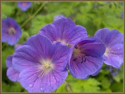 What Are Bedding Geraniums?