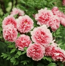 Are Peonies Toxic to Animals?