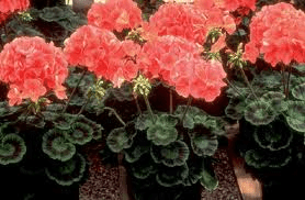 Annual Geranium Plants