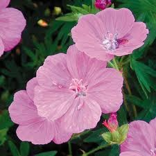Information on Alpenglow Geraniums